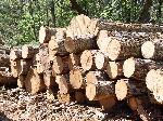 Gỗ tự nhiên là gì? Đặc điểm và tính chất nổi bật của gỗ tự nhiên